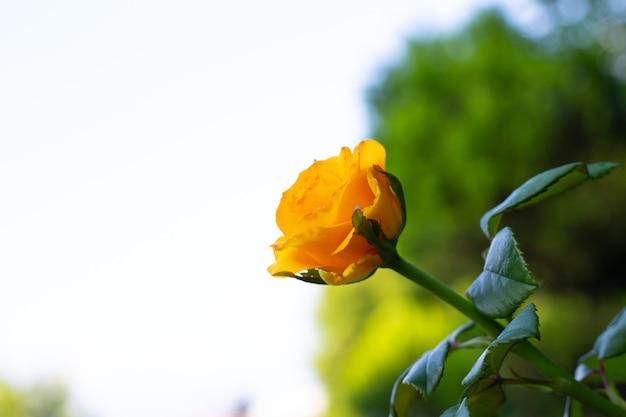 Żółta róża na białym tle, z miejscem na kopię