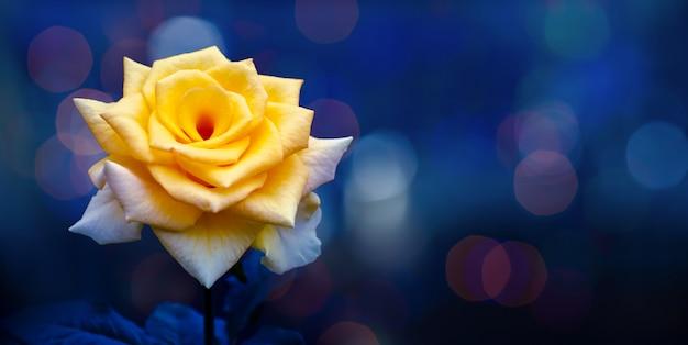 Żółta róża światło bokeh niebieskie tło walentynki