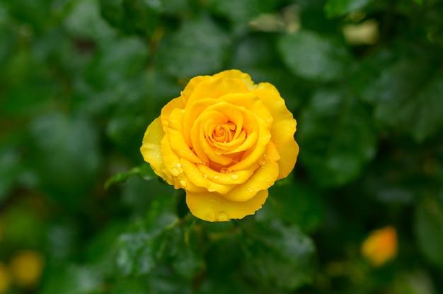 Żółta róża z kroplami wody