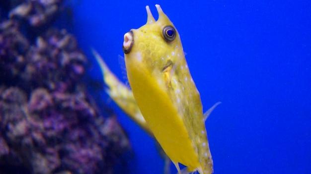 Żółta ryba na niebieskim tle pod wodą