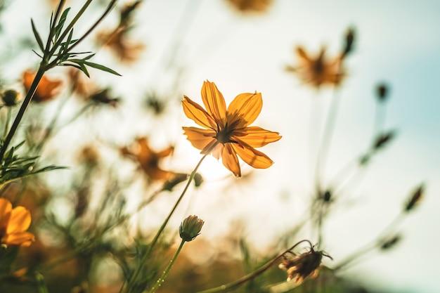 Żółta siarka kosmos kwitnie w ogródzie natura z niebieskim niebem z rocznika stylem.