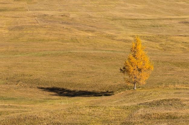 Żółta sosna w sezonie jesiennym.