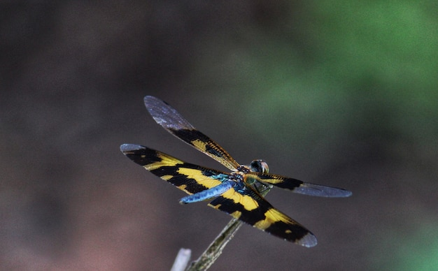 Żółta sowa macaronius