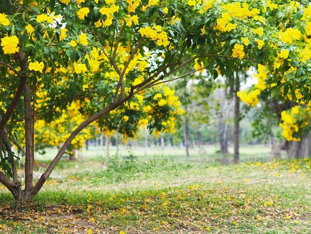 Żółta starsza lub trąbka krzew kwiaty drzew