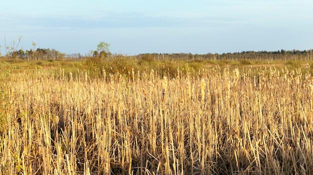 Żółta trawa na bagnistym, zalanym terenie, cała wysychająca późną jesienią lub wczesną wiosną