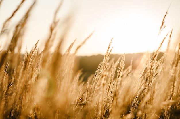 Żółta trawa na polu w słońcu o zachodzie słońca. świat, koncepcja dnia środowiska kraju. wspaniały wschód słońca na łące ze światłem bokeh. jesień, wiosna, lato.