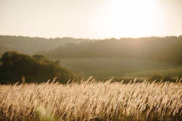 Żółta trawa na polu w słońcu o zachodzie słońca. wspaniały wschód słońca na łące ze światłem bokeh.
