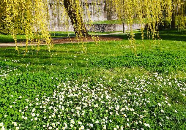 Żółta wierzba i białe kwiaty w parku wiosną