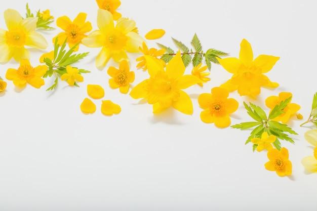 Żółta wiosna kwitnie na białym tle