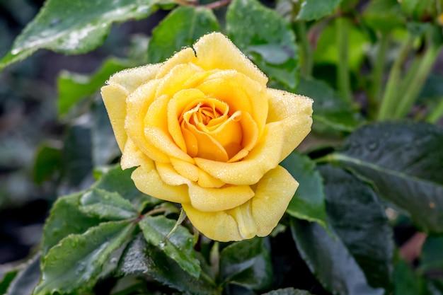 Żółta wspaniała róża w ogrodzie wśród zieleni