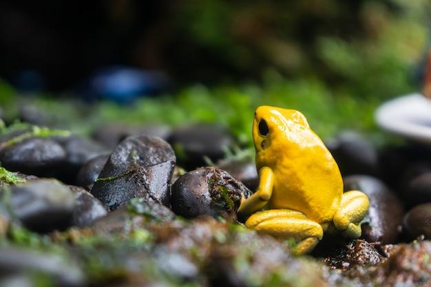 Żółta żaba trująca (dendrobates tinctorius azureus) trująca żaba bardzo trujące zwierzę z ostrzegawczymi kolorami phyllobates terribilis kolumbia amazonka lasy deszczowe toksyczne płazy