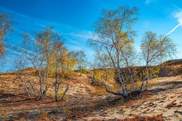 Żółte brzozy w półpustynnym jesienią