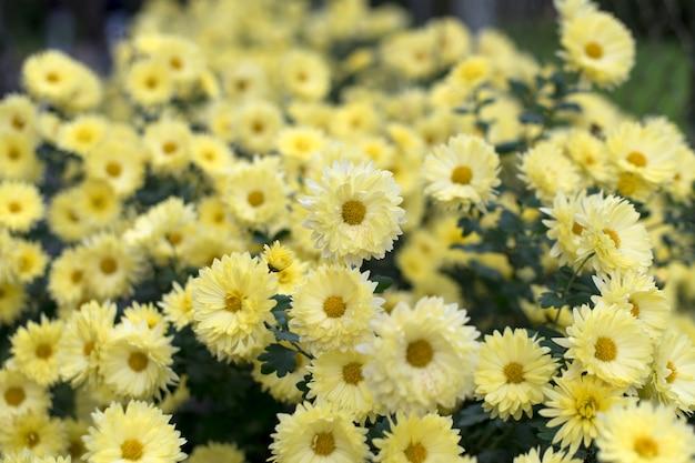 Żółte chryzantemy w jesiennym ogrodzie, natura jesień kwiatowy tło.
