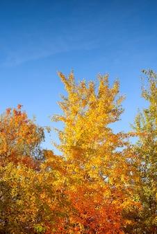 Żółte drzewa na tle błękitnego nieba. pytanie o liście. jesienny krajobraz