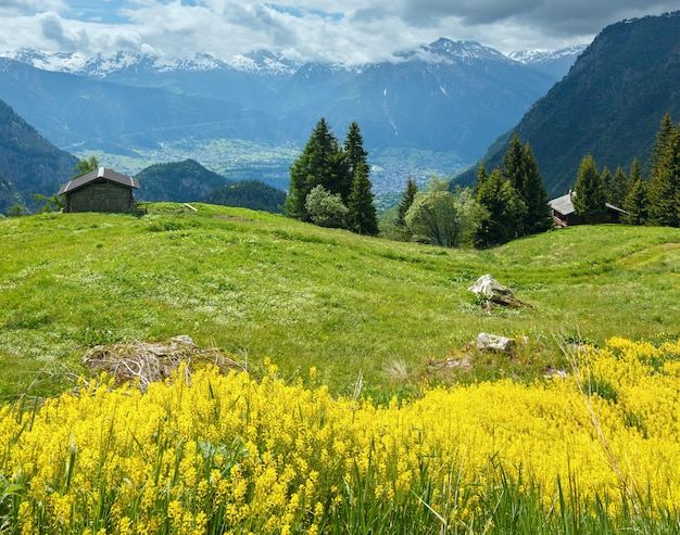 Żółte dzikie kwiaty na letnim zboczu góry (alpy, szwajcaria)