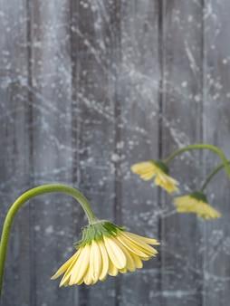 Żółte gerbery na szarym tle
