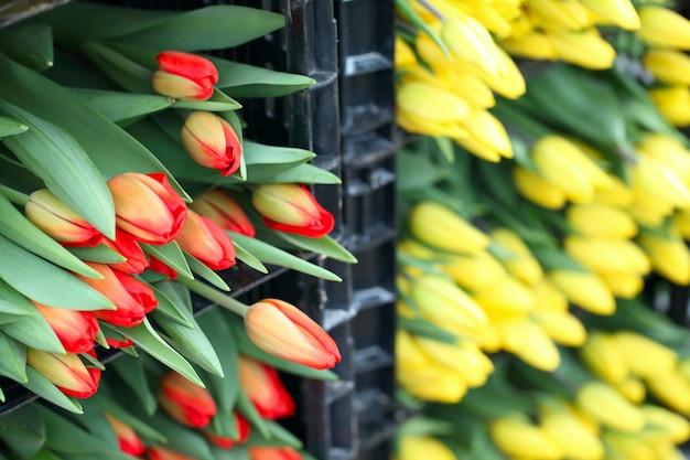 Żółte i czerwone cięte tulipany w pudełkach