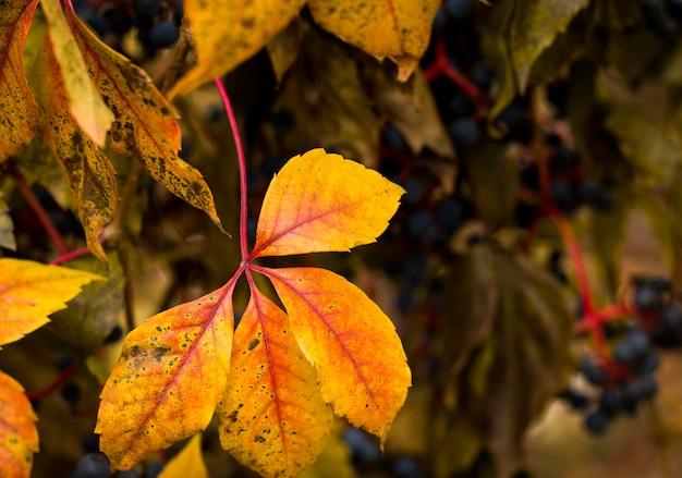 Żółte i czerwone jesienne liście.