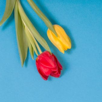 Żółte i czerwone tulipany na niebieskim tle