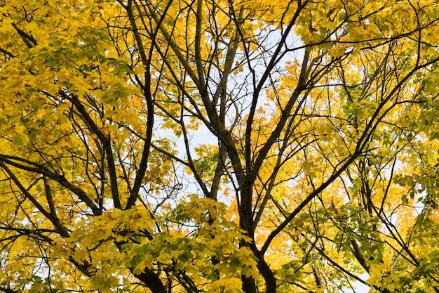 Żółte i inne liście na drzewach wczesną jesienią, jasne drzewa przy słonecznej pogodzie
