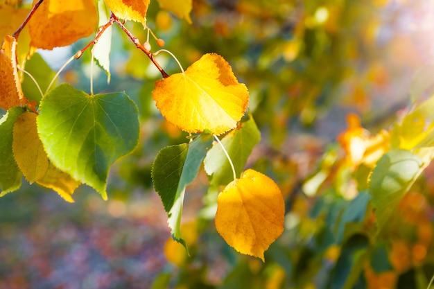 Żółte jesienne liście i drzewa w parku w przyrodzie