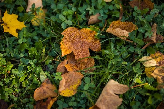 Żółte jesienne liście klonu na zielonej trawie. sezon jesienny.