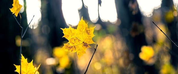 Żółte jesienne liście klonu w ciemnym lesie na rozmytym tle na światło, panorama