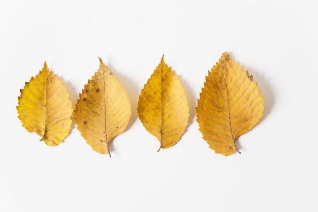 Żółte jesienne liście. leżał na płasko. białe tło. minimalistyczny styl.