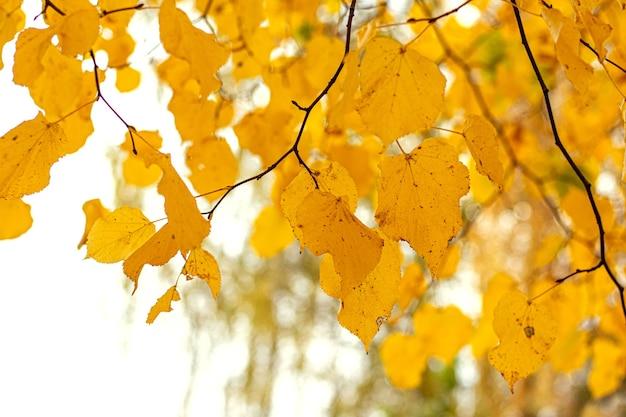 Żółte jesienne liście na drzewie na jasnym rozmytym tle