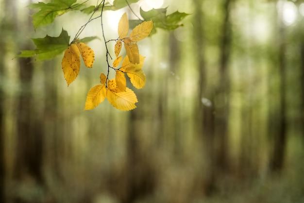 Żółte jesienne liście na gałązce