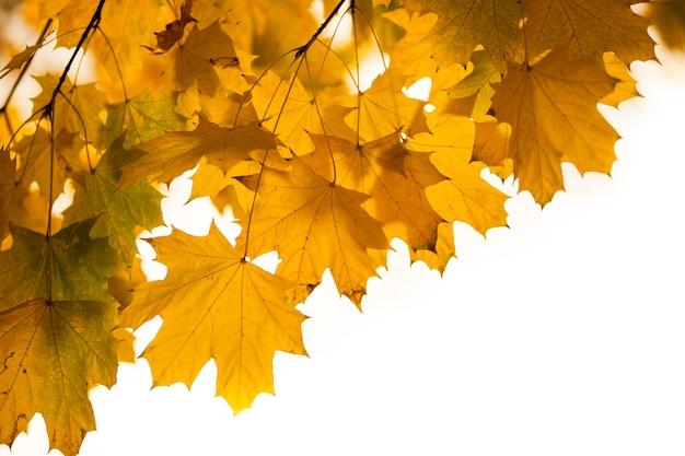 Żółte jesienne liście na wierzchołku drzewa, sezon jesienny