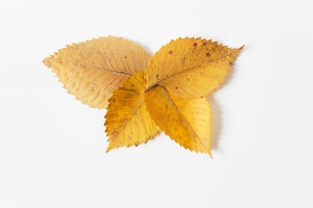 Żółte jesienne liście. płaskie lay.space dla tekstu. szablon do projektowania. białe tło. minimalistyczny styl. naturalny układ