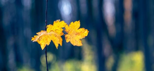 Żółte jesienne liście w ciemnym lesie na rozmytym tle, panorama