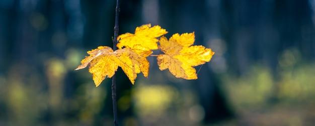 Żółte jesienne liście w ciemnym lesie, panorama. jesienny las