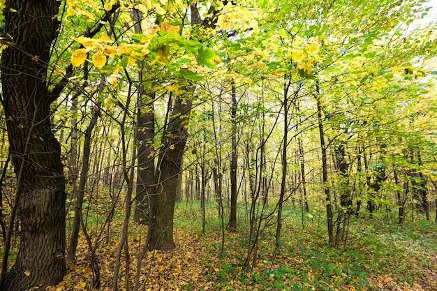 Żółte jesienne liście w lesie z cienkimi młodymi drzewami, prawdziwa jesień