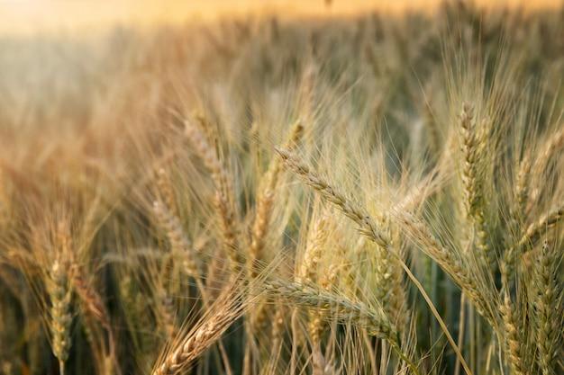 Żółte kłosy pszenicy w polu. pole pszenicy. pole jęczmienia.