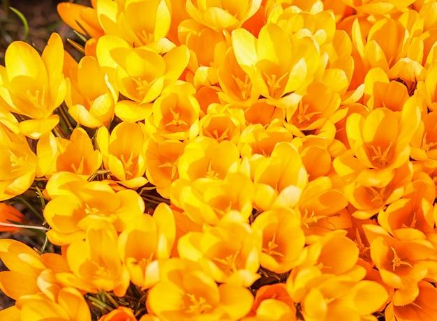 Żółte krokusy kiełkują na wiosnę w ogrodzie