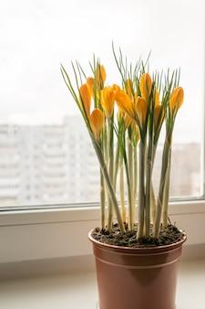 Żółte krokusy w plastikowym garnku na parapecie. wiosenne kwiaty, ogrodnictwo domowe