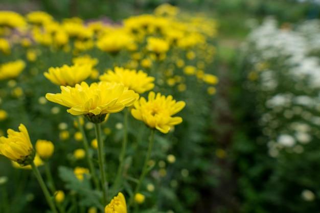 Żółte kwiaty chryzantemy w ogrodzie uprawiane na sprzedaż i na zwiedzanie.