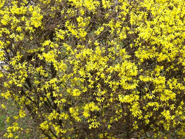Żółte kwiaty forsycji