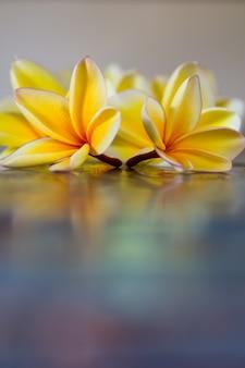 Żółte kwiaty frangipani (plumeria) na niebieskim tle z bliska