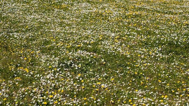 Żółte kwiaty i stokrotki w polu na wiosnę