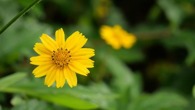 Żółte kwiaty jacobaea vulgaris z zielonym tłem