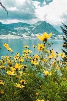 Żółte kwiaty łąka z bliska na tle jeziora czterech kantonów i szwajcarskich gór z polami