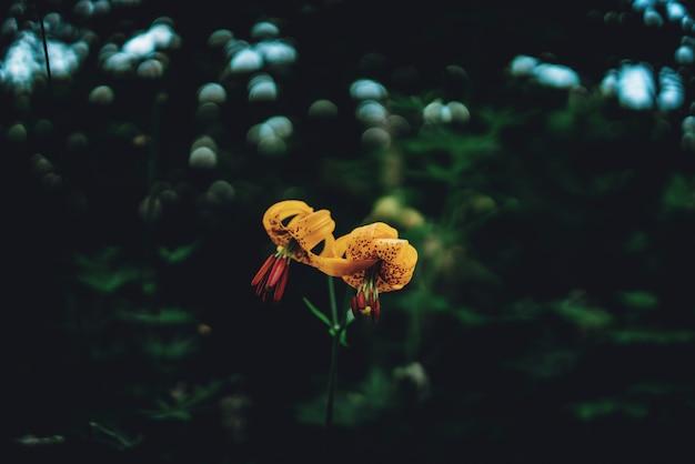 Żółte kwiaty lilii