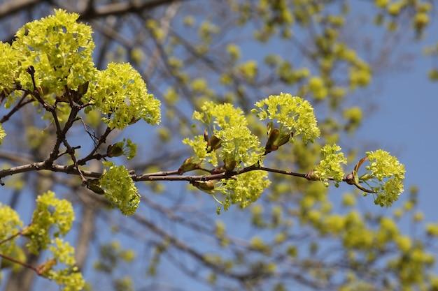 Żółte kwiaty lipy przeciw błękitne niebo.