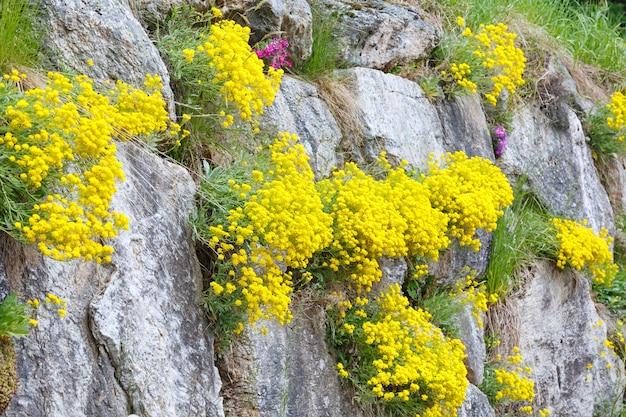 Żółte kwiaty między kamieniami na skalistym zboczu