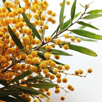 Żółte kwiaty mimozy na białym zbliżeniu