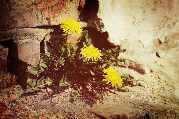 Żółte kwiaty mniszka lekarskiego w pobliżu ceglanego muru
