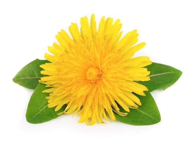 Żółte kwiaty mniszka lekarskiego z liśćmi na białym tle